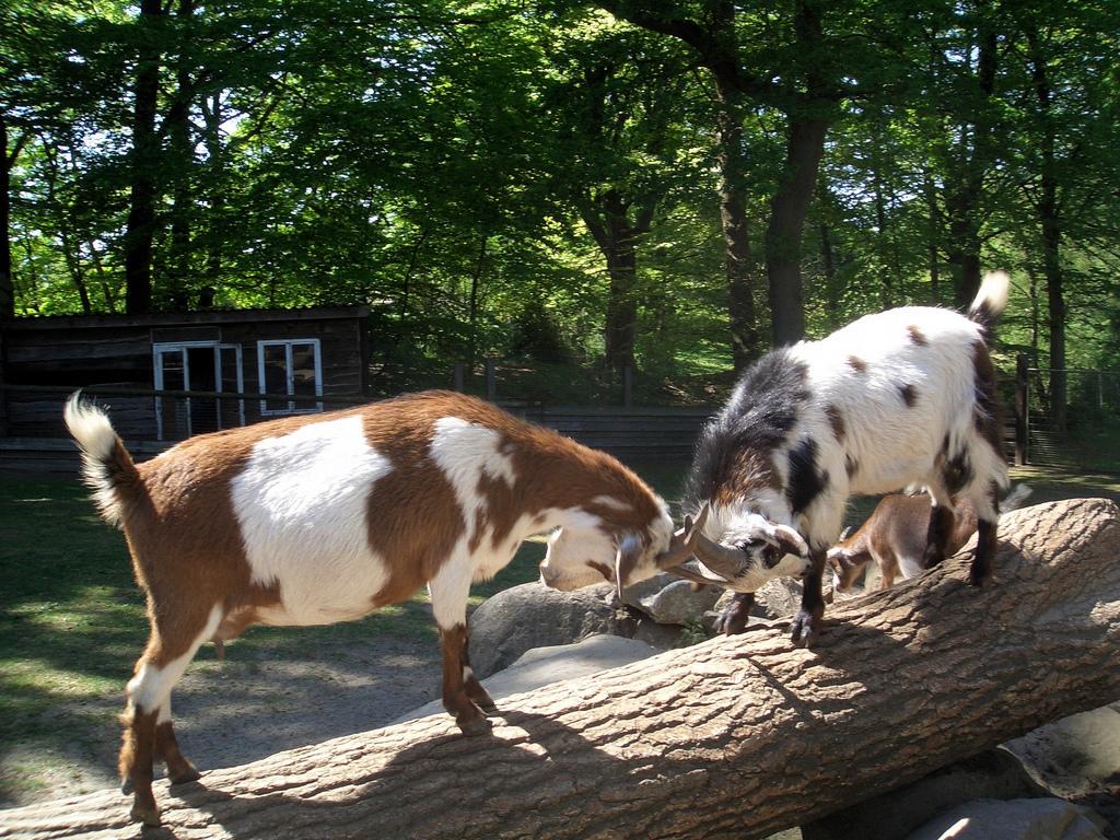 Animals Butting Heads