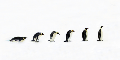Penguin Evolution