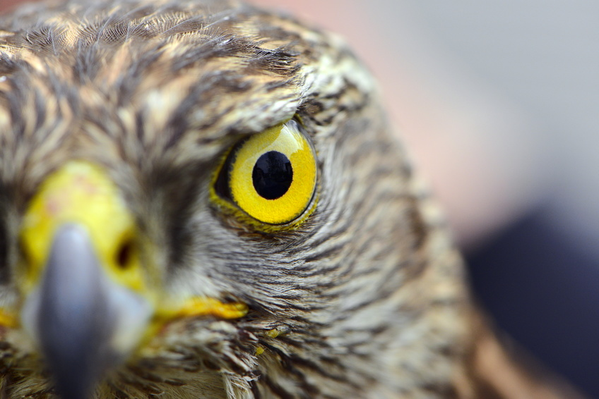 Hawk Eye Close-Up